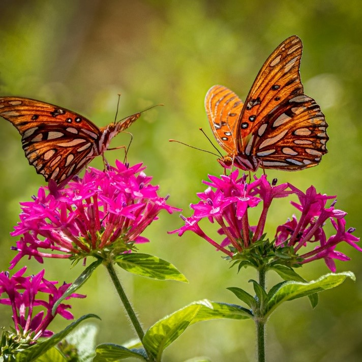 Butterflies having a quick meal while helping pollinate plants