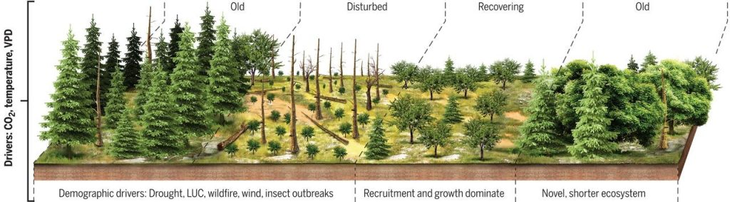 Old Growth Forest Being Compared to Newer Forest Growth that's Shorter.