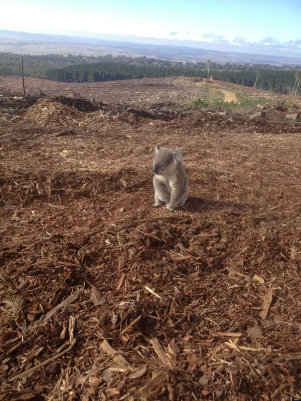 Koala Photo Shows Forest Destroyed By Loggers