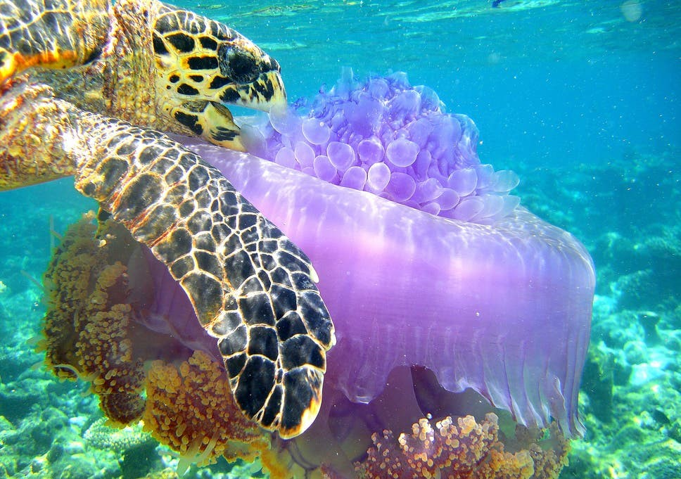 Turtle chomping down on a good old jellyfish - Meal Time
