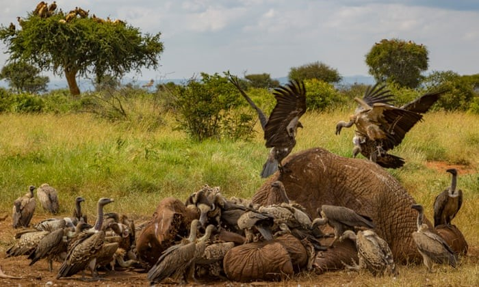 ENV Media The WTF hooded vultures extinct. Hooded vultures feasting on an elephant carcas.