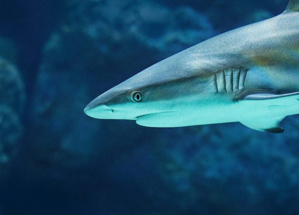 Reef Shark - Shark Warning